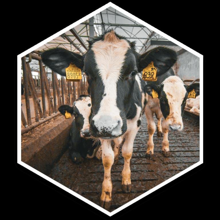 hexagon koe