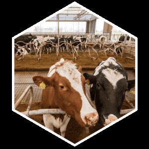 hexagon-2-koeien